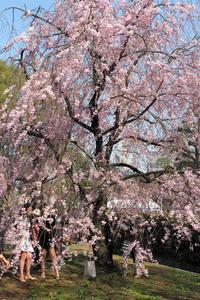 千鳥ヶ淵の桜 - Taro's Photo