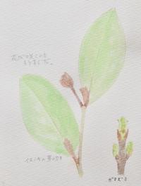 #植物スケッチ  『イスノキ・ガマズミ』 - スケッチ感察ノート (Nature journal)