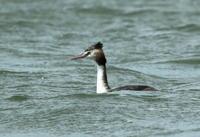4月7日(土)強風の中海に行って来ました,風でカメラが倒れそうでした。 - 鳥撮り日誌