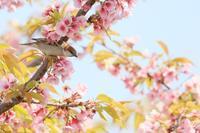 葉桜にニュウナイスズメ - 八分目とり日記
