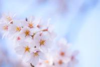 Cerisier - Une fleur