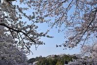 彦根城 桜その4 - 尾張名所図会を巡る
