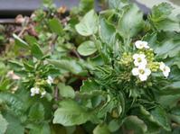 ワイルドクレソンの花 - sunny side