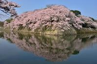 桜の彦根城と八幡掘を楽しむ - 峰さんの山あるき