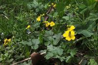 ■春の野の草花 (2)18.4.7(ミツバツチグリ、カキドオシ、ホタルカズラ) - 舞岡公園の自然2