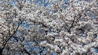 桜満開の若狭路 - バイク玉手箱