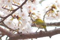 メジロと桜のコラボ - 上州自然散策2
