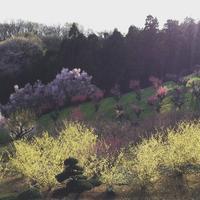 水仙とレディージェーン。。。♪ - 妖精と香りの庭