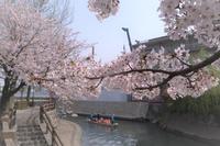 街の中の桜 - Sandwich