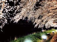 野川の桜ライトアップ - 調布みつぎ不動産のスタッフブログ