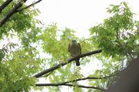 ツミ 曇りの飛出し - 気まぐれ野鳥写真