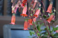 実は持っていた一眼レフ - 世に万葉の花が咲くなり