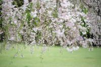 まゝに/4月の散策/花ゝ/しだれ桜 - Maruの/ まゝに