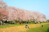 桜によりそう - そよ風のおもむくままに