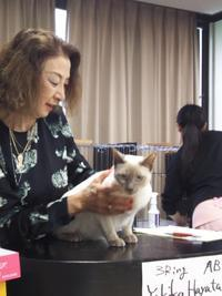Cat show report. - MINKWIN Cattery &Pretty Aki