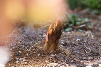 ニョキっと出たよ - my small garden~sugar plum~