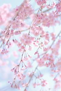 枝垂れ桜 - なないろ模様