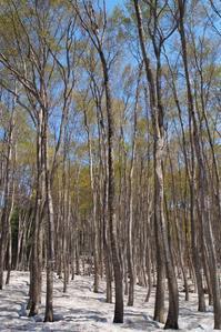 早春の美人林 - 松之山の四季2