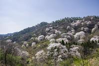 黒川の野生桜 - 良え畝のブログ