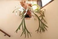 Platycerium willinckii - PlantsCade -2nd effort