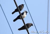 やっと会えた「コクマルガラス」さん♪ - ケンケン&ミントの鳥撮りLifeⅡ