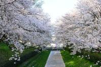 満開の桜 - そよ風のおもむくままに