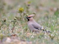 花がらみ - 『彩の国ピンボケ野鳥写真館』