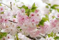 一足お先に「桜の通り抜け」再び@2018-04-05 - (新)トラちゃん&ちー・明日葉 観察日記