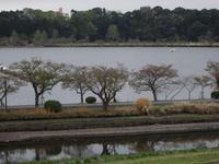 千波湖の桜チル…そして(2018) - みとぶら