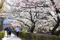 カメラを持ってお出かけ*2018 松本城の桜 その2 - my small garden~sugar plum~