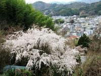 3/19 一本松の頂上の 枝垂れを見に行く - 行雲流水 のほほんほん
