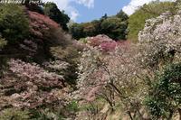 八重桜が満開の多摩森林科学園へ - 四季彩の部屋Ⅱ