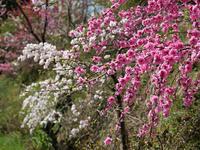 山里の春(花桃など) - 風任せ自由人