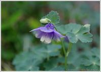 ミヤマオダマキが咲いた - 野鳥の素顔 <野鳥と日々の出来事>