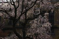 京都 桜2018京都府庁 - 写真部