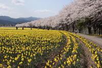 桜だより(21) 東吾妻町の水仙と桜 (撮影日:2018/4/5) - toshiさんのお気楽ブログ