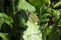 ■モンシロチョウとスジグロシロチョウ18.4.9 - 舞岡公園の自然2