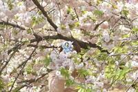 御苑de桜さくらサクラSAKURA☆② - じゅうべえな日々♪
