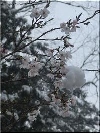 桜と、雪と - Que Sera *Sera