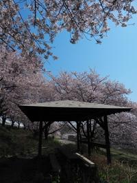 深谷の桜 - belakangan ini