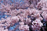 上州Sakura~市内の名もなき公園にて - Olive Drab