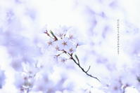 ご近所のsakura ③ 2018/04/03 - 虹のむこうには何が見える?