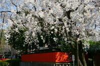 車折神社渓仙桜 - Deep Season