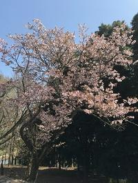 色んな種類の桜 - つれづれ日記