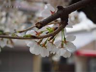 下町の桜。 - Photo*Today & Then