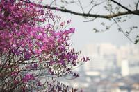 日岡山の躑躅 - グル的日乗