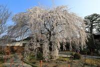 本満寺の垂れ桜 - ぴんぼけふぉとぶろぐ2