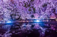姫路城夜桜ライトアップ - シセンのカナタ