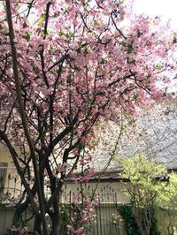 海棠(カイドウ)が満開です。 - Mayumin's rose garden&table 小さな秘密の花園で