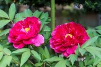 牡丹・藤・花水木 - あだっちゃんの花鳥風月